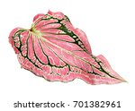 caladium bicolor with pink leaf ... | Shutterstock . vector #701382961