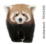Young Red Panda Or Shining Cat  ...
