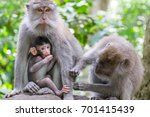 group of crab eating macaques ... | Shutterstock . vector #701415439