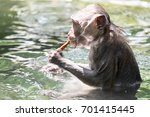 cute wet crab eating macaque ... | Shutterstock . vector #701415445
