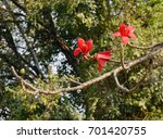 blossom of the red silk cotton... | Shutterstock . vector #701420755