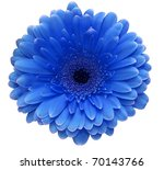 Blue Gerbera Flower Isolated O...