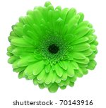 Green Gerbera Flower Isolated...