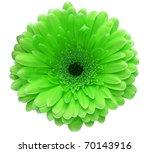 Green Gerbera Flower Isolated...