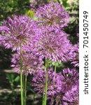 inflorescences of wild onions