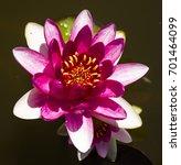 pink flower water lily | Shutterstock . vector #701464099