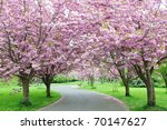 Cherry Blossom Pathway In A...