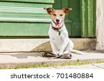 Stock photo jack russell dog waiting for owner to play and go for a walk with leash outdoors at the door 701480884