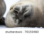 baby seal close to mom.... | Shutterstock . vector #70153483
