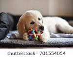 golden retriever dog puppy... | Shutterstock . vector #701554054