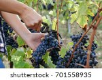 young woman harvesting red... | Shutterstock . vector #701558935