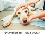 dog awakening from anesthesia... | Shutterstock . vector #701569234