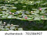 Close Up Of A Water Lily In Th...
