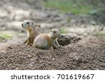 Watchful Prairie Dogs In ...