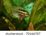 Red Dots Cichlid  Laetacara...
