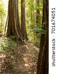 empty hiking trail in a redwood ...   Shutterstock . vector #701674051