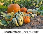 autumn squashes in the garden.... | Shutterstock . vector #701710489