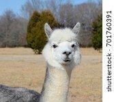 black and white alpaca  ... | Shutterstock . vector #701760391