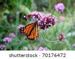 Monarch Butterfly On The Purple ...