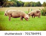 pig farm.  pigs in field.... | Shutterstock . vector #701784991