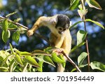 inquisitive south american...   Shutterstock . vector #701954449