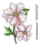 pink peony flower blossom. hand ... | Shutterstock . vector #701972767