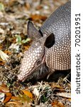 Nine Banded Armadillo  Closeup