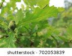 Small photo of Oak tree acorn nut