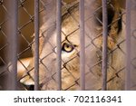The Liger In The Steel Cage...