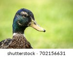 duck close up of the head... | Shutterstock . vector #702156631