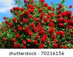 Stock photo red roses on sunny sky background 70216156