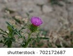 Violet Welted Thistle  Carduus...