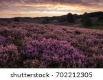 Purple Heather Hills In Bloom...