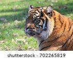 asian sumatran tiger  panthera...   Shutterstock . vector #702265819