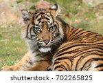 young female asian sumatran...   Shutterstock . vector #702265825