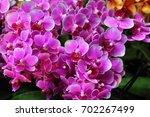 orchid flower in japan | Shutterstock . vector #702267499