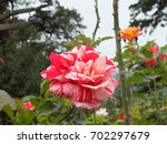 a lovely rose   who cares its... | Shutterstock . vector #702297679