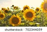 sunflower field | Shutterstock . vector #702344059
