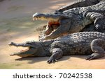 Two Large Crocodiles Showing...