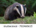 badger emerging from sett in... | Shutterstock . vector #702460615