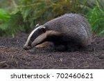 badger emerging from sett in... | Shutterstock . vector #702460621