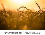 wheat field in the sun | Shutterstock . vector #702488119
