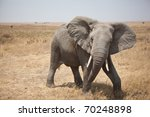 African Elephant On The...