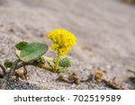 Small photo of Yellow Sand Verbena (Abronia latifolia) blooming in Prairie Creek Redwoods State Park, California