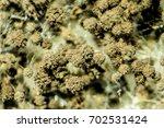 aspergillus  mold  under the... | Shutterstock . vector #702531424