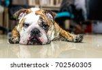 english bulldog | Shutterstock . vector #702560305