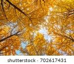 Upward View Of Fall Ginkgo...