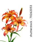 flower cultivated garden plant  ... | Shutterstock . vector #70262053