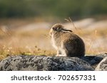 Stock photo wild hare lepus timidus close up mountain hare alpine hare in summer pelage folded its 702657331