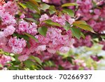 Beautiful kwanzan cherry tree in full bloom.  Closeup with shallow dof. - stock photo